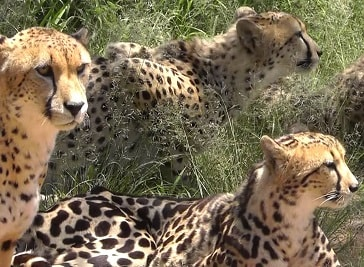 Ann van Dyk Cheetah Centre in Pretoria
